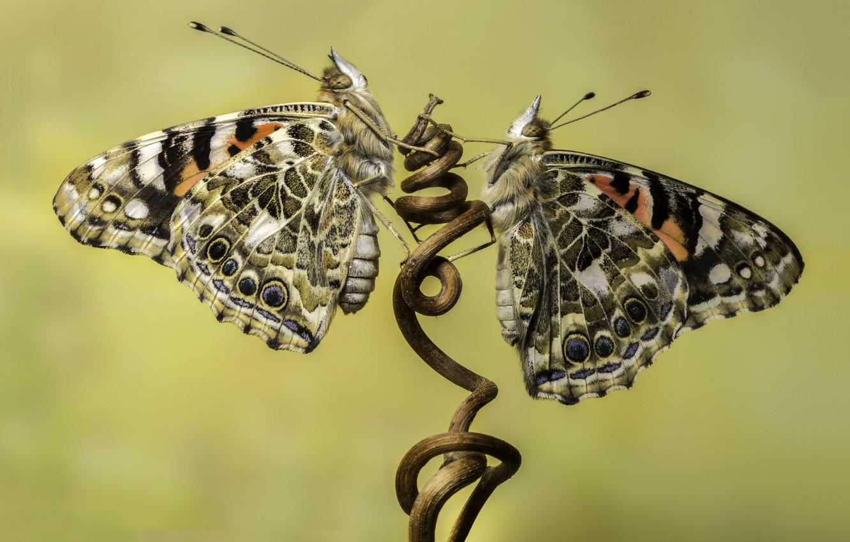 Photo wallpaper butterfly, branch, nasekomoe