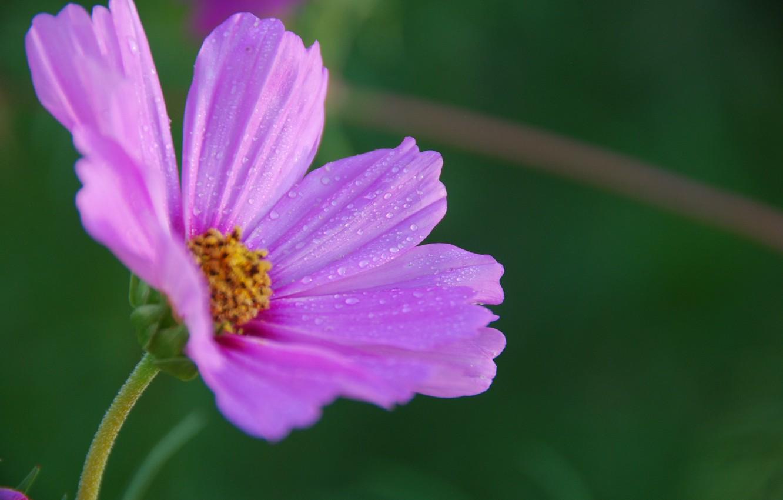 Photo wallpaper Drops, Bokeh, kosmeya, Bokeh, Drops, Purple flower, Purple flower, Kosmeya