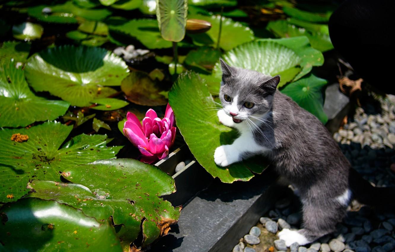Photo wallpaper cat, flower, leaves, garden, kitty, water Lily, cat, Munchkin