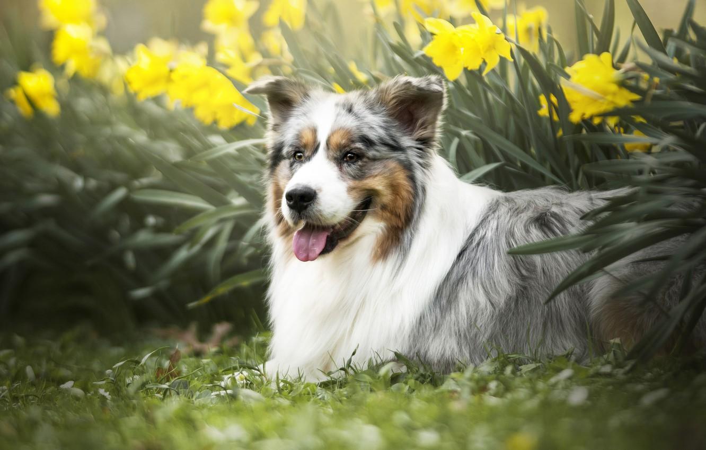 Photo wallpaper flowers, dog, daffodils, Australian shepherd, Aussie