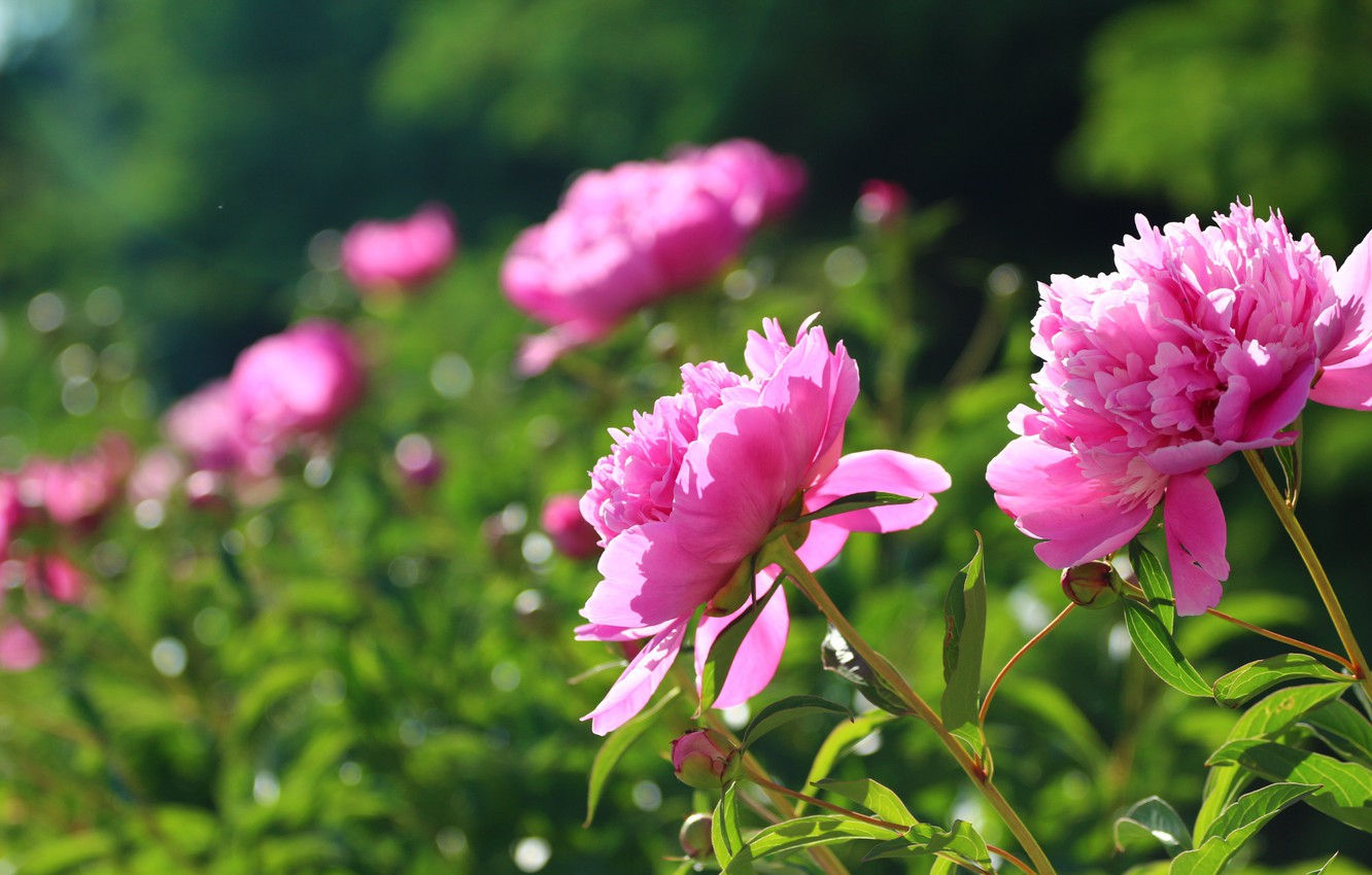 Photo wallpaper summer, leaves, flowers, buds, peony