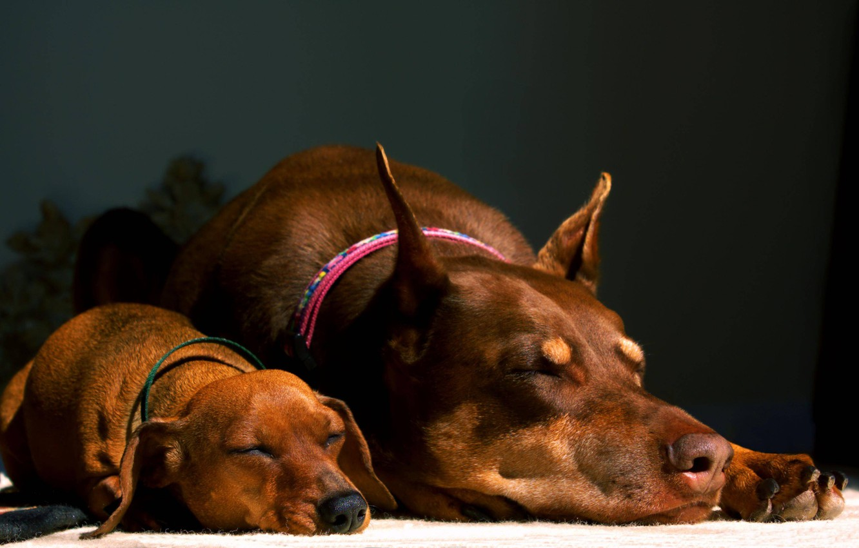 Photo wallpaper Dachshund, brown, cuties, sleep, Doberman