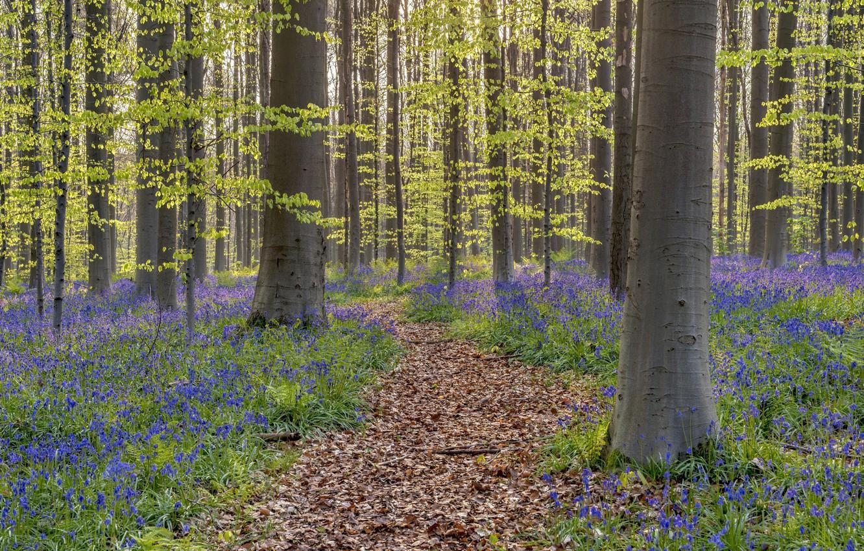 Photo wallpaper forest, spring, Belgium, bells, path, Walloon Brabant