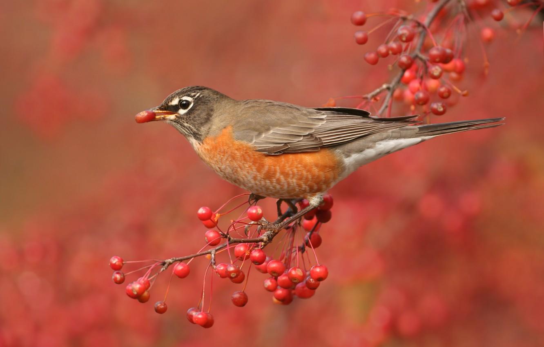 Photo wallpaper nature, berries, bird, branch