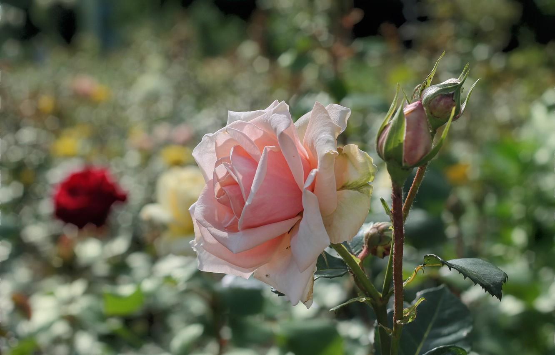Photo wallpaper summer, flowers, roses, flowerbed