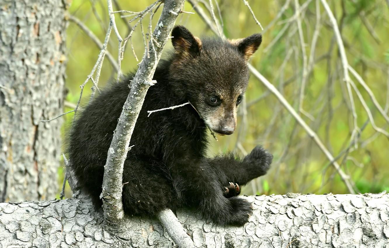 Photo wallpaper forest, nature, bear, bear