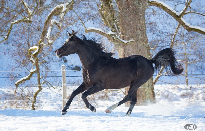 Photo wallpaper horse, horse, running, grace, crow, (с) Oliver Seitz