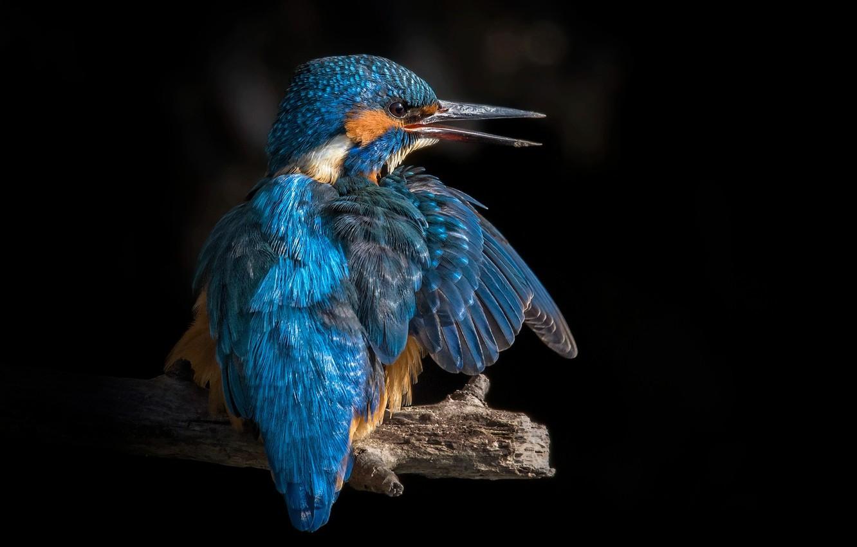 Photo wallpaper bird, branch, Kingfisher, birds of the world