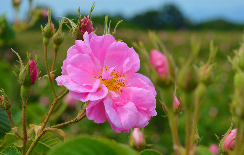 Photo wallpaper Buds, Nature, Pink rose, Pink rose