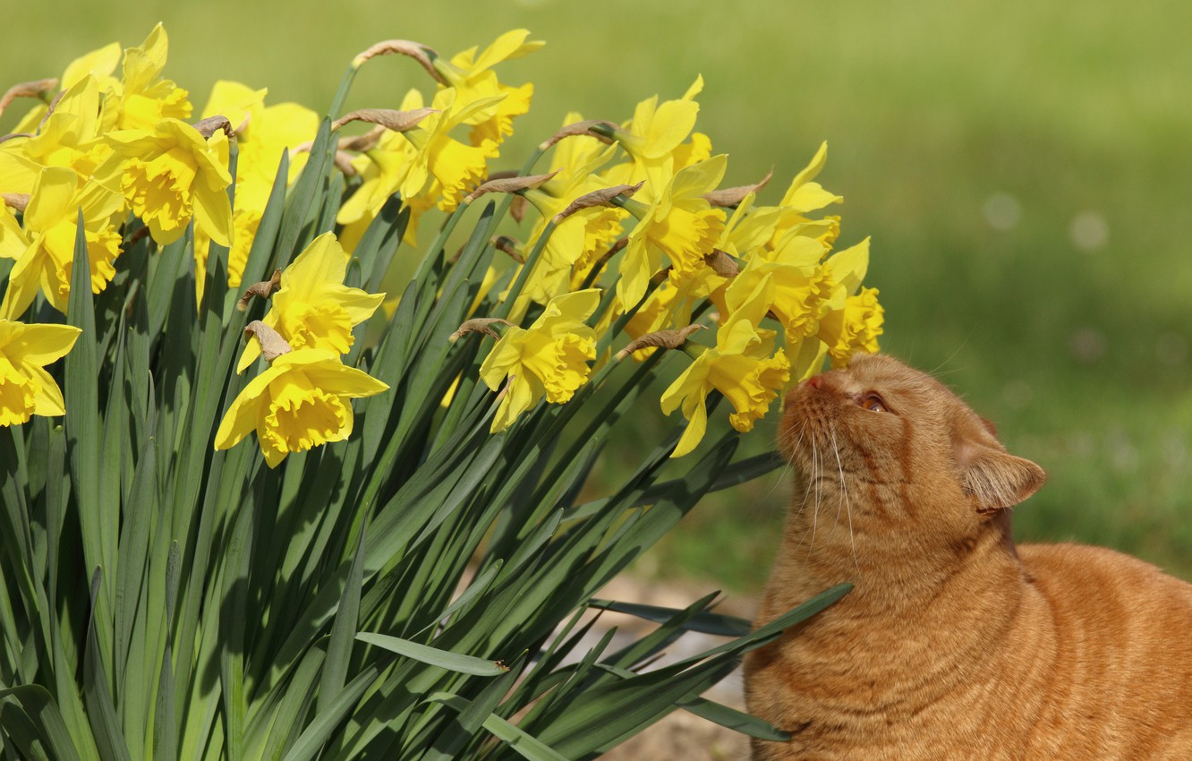 Photo wallpaper cat, flowers, daffodils, red cat