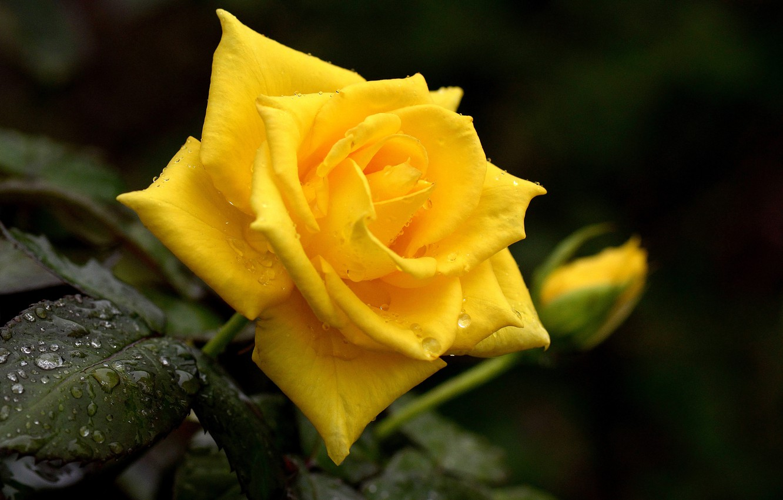 Photo wallpaper drops, yellow, Rosa, rose, Bud