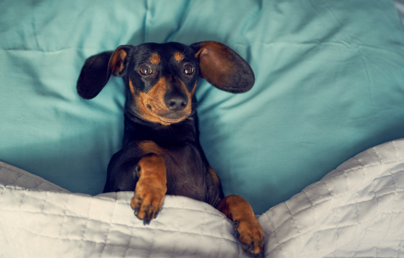 Photo wallpaper bed, Dog, Dachshund, dog in bed