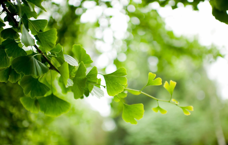 Photo wallpaper leaves, branch, Ginkgo