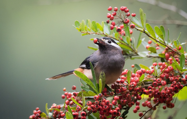 Photo wallpaper birds, berries, branch, white ears, color of babbler