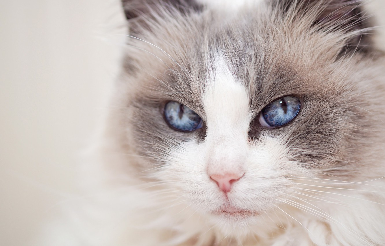 Photo wallpaper cat, look, portrait, muzzle, blue eyes, Ragdoll