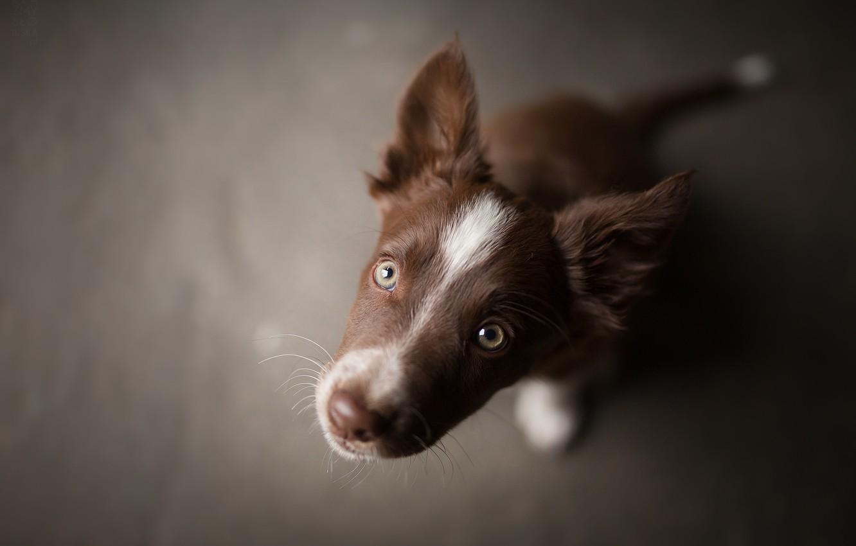 Photo wallpaper muzzle, brown, puppy, Tissaia