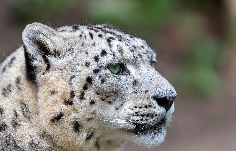 фото белого леопарда обладает