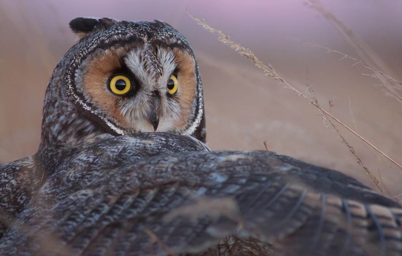 Photo wallpaper owl, bird, wing, Long-eared owl