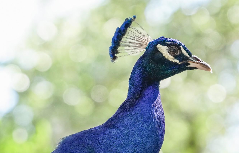 Photo wallpaper look, bird, Peacock