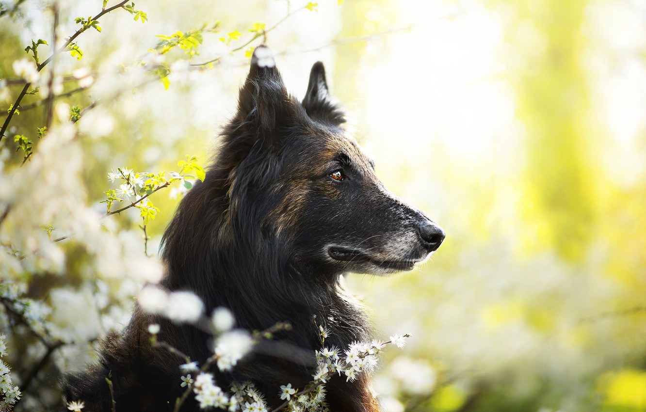 Photo wallpaper dog, spring, Jamash