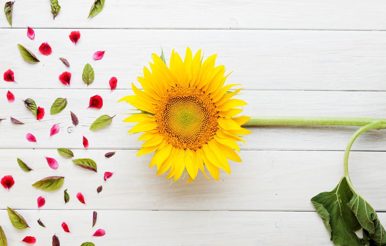 Photo wallpaper flowers, sunflower, petals, leaves