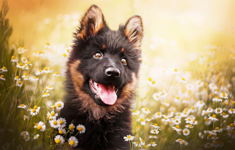 Photo wallpaper language, face, flowers, chamomile, dog, puppy, bokeh