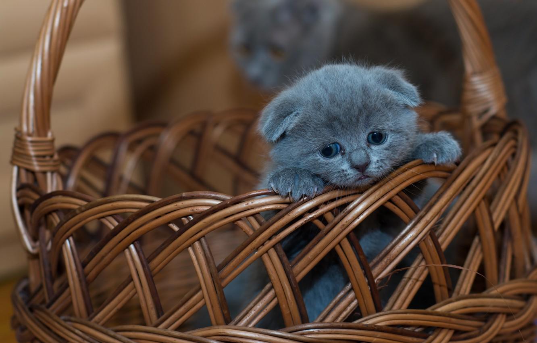 Photo wallpaper basket, baby, kitty, Scottish fold, Scottish fold cat
