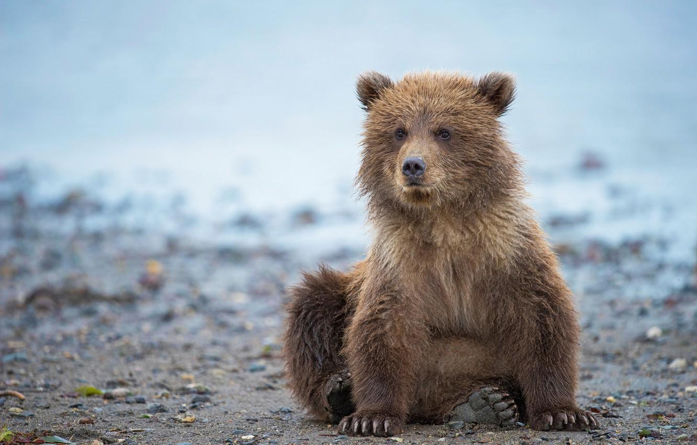 Photo wallpaper Alaska, bear, bear