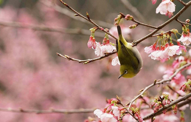 Photo wallpaper bird, branch, spring, garden, Sakura, flowering, Japanese white-eye
