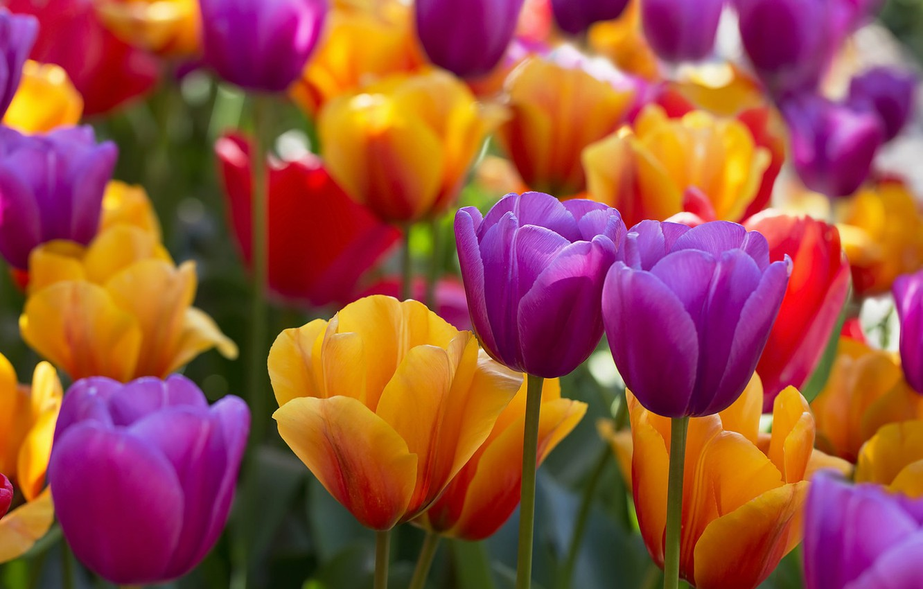 Photo wallpaper tulips, buds, colorful