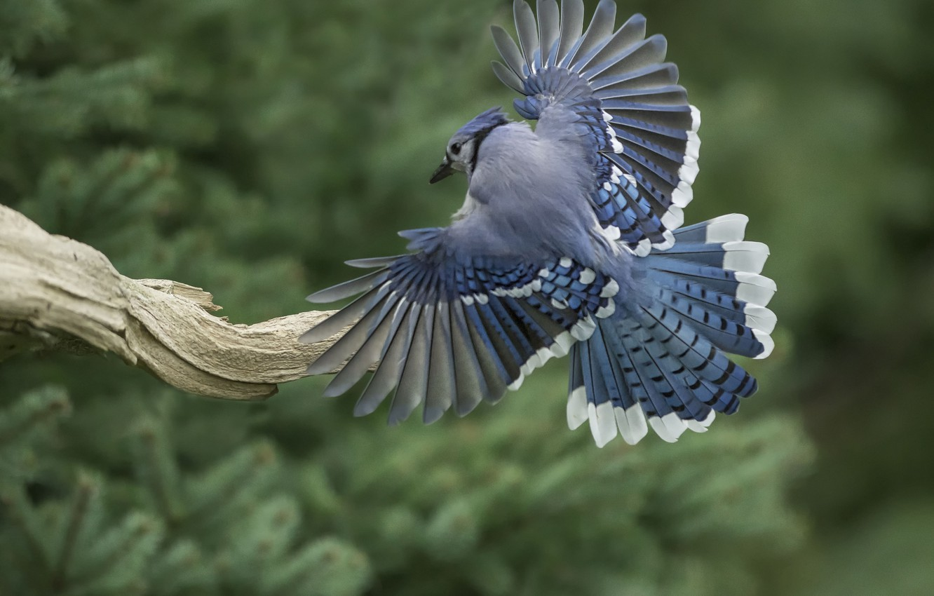 Photo wallpaper bird, wings, feathers, tail, snag, Blue Jay