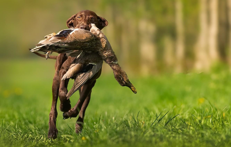 Photo wallpaper bird, dog, hunting