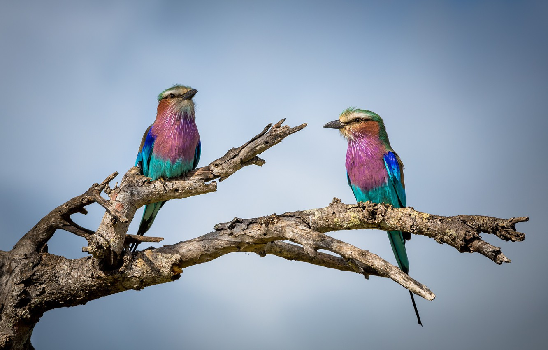 Photo wallpaper birds, background, branch, pair, Sirenevaya roller