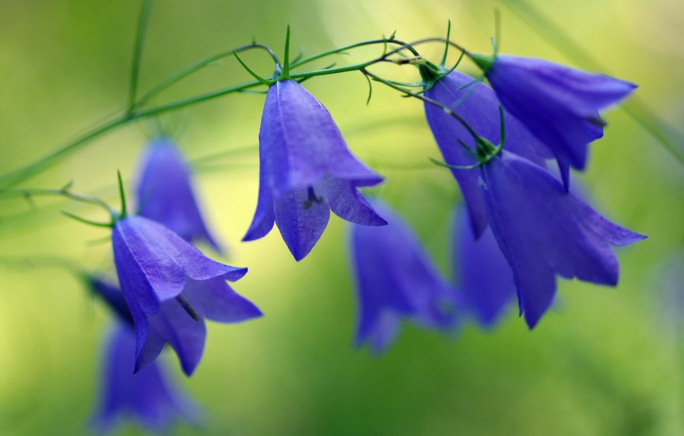 Photo wallpaper forest, summer, flowers, nature, beauty, plants, bells, blue color, wildflowers, flora, July