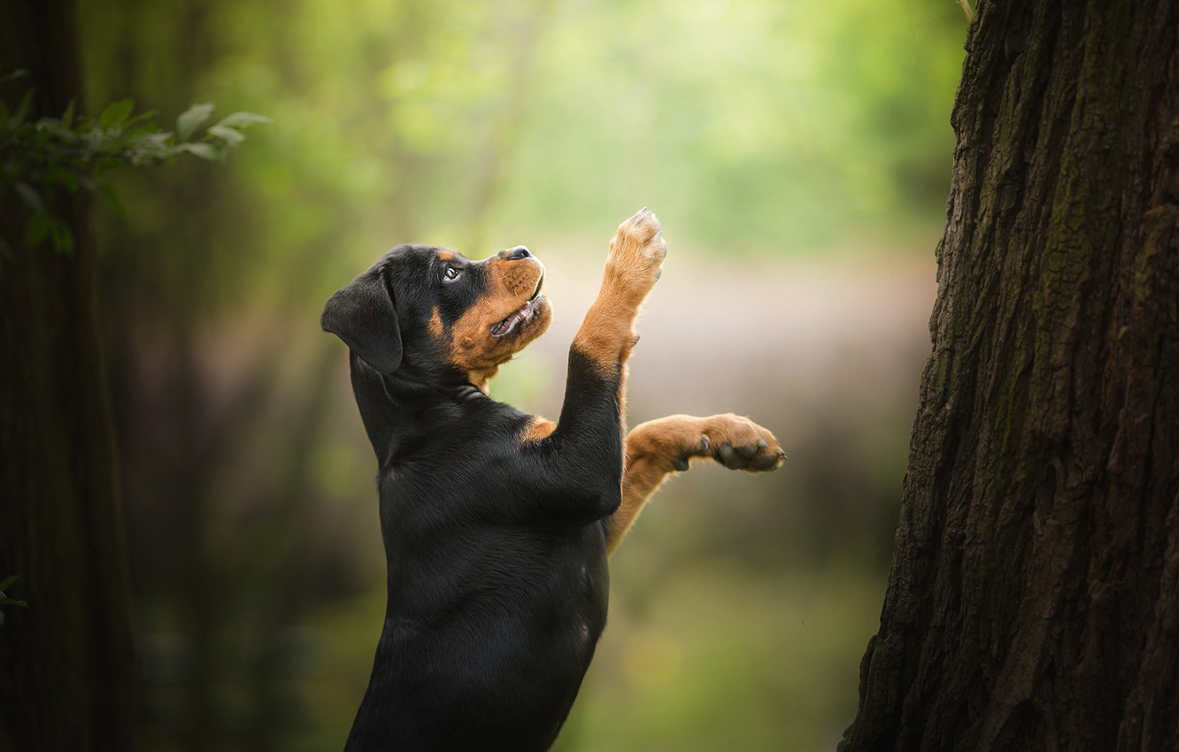 Photo wallpaper tree, dog, paws, puppy, stand, bokeh, Rottweiler