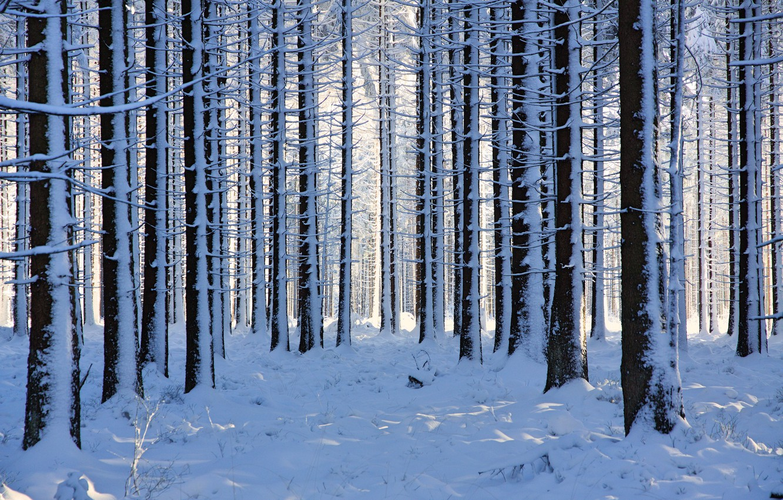Photo wallpaper winter, forest, snow, trees, Belgium