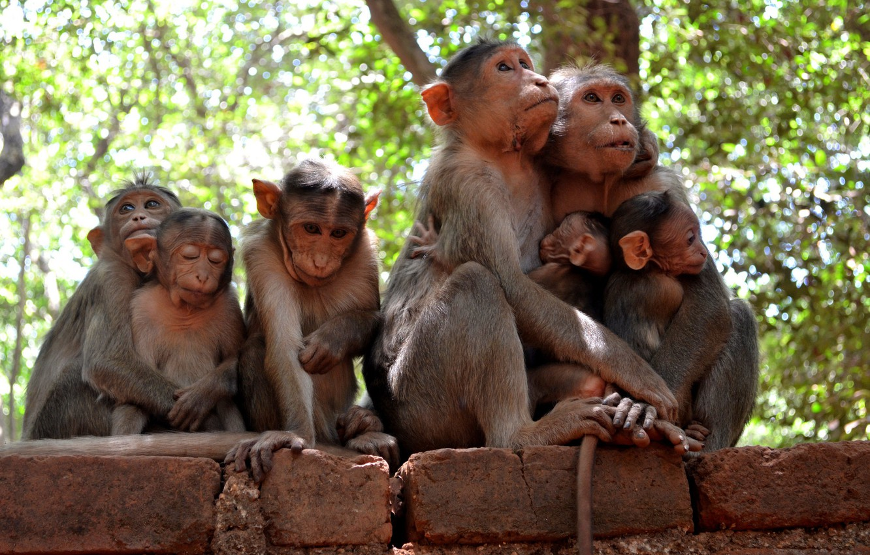 Photo wallpaper nature, family, monkey
