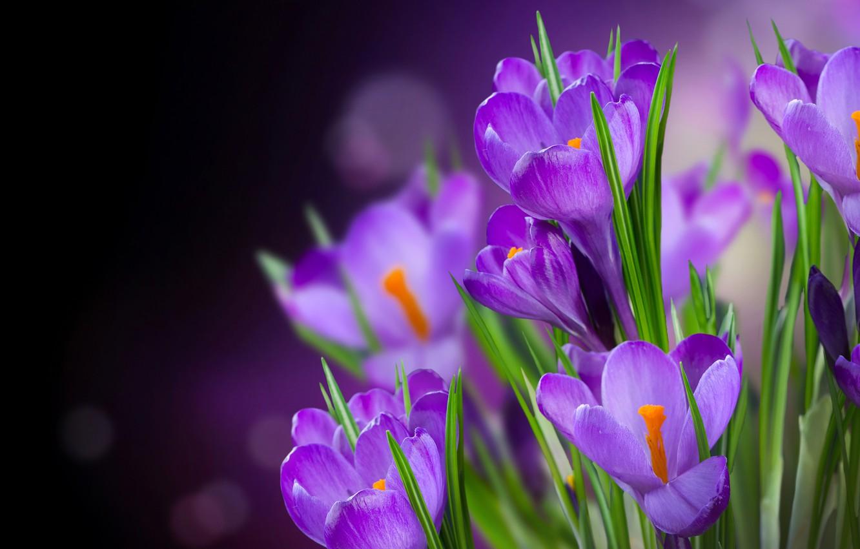 Photo wallpaper leaves, glare, background, purple, crocuses, flowers, bokeh, closeup