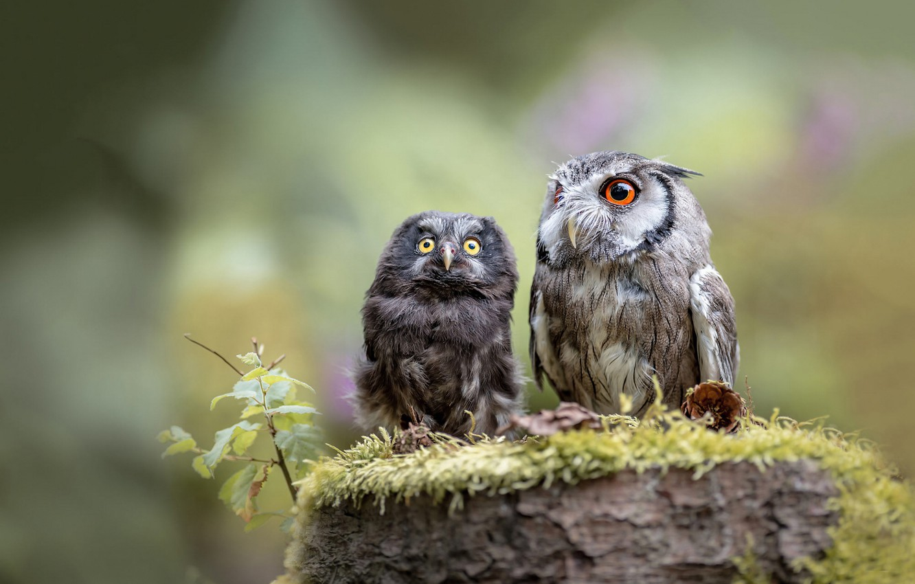 Photo wallpaper birds, nature, background, owl, two, moss, stump, owls, a couple, owl, owl, friends and comrades