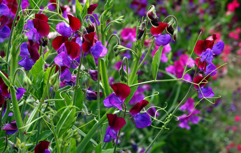 Photo wallpaper greens, summer, bright colors, flowers, plants, leaves, antennae, buds, sweet peas, flowering meadow