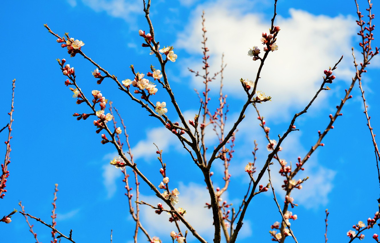 Photo wallpaper branches, tree, spring, apricot, flowering