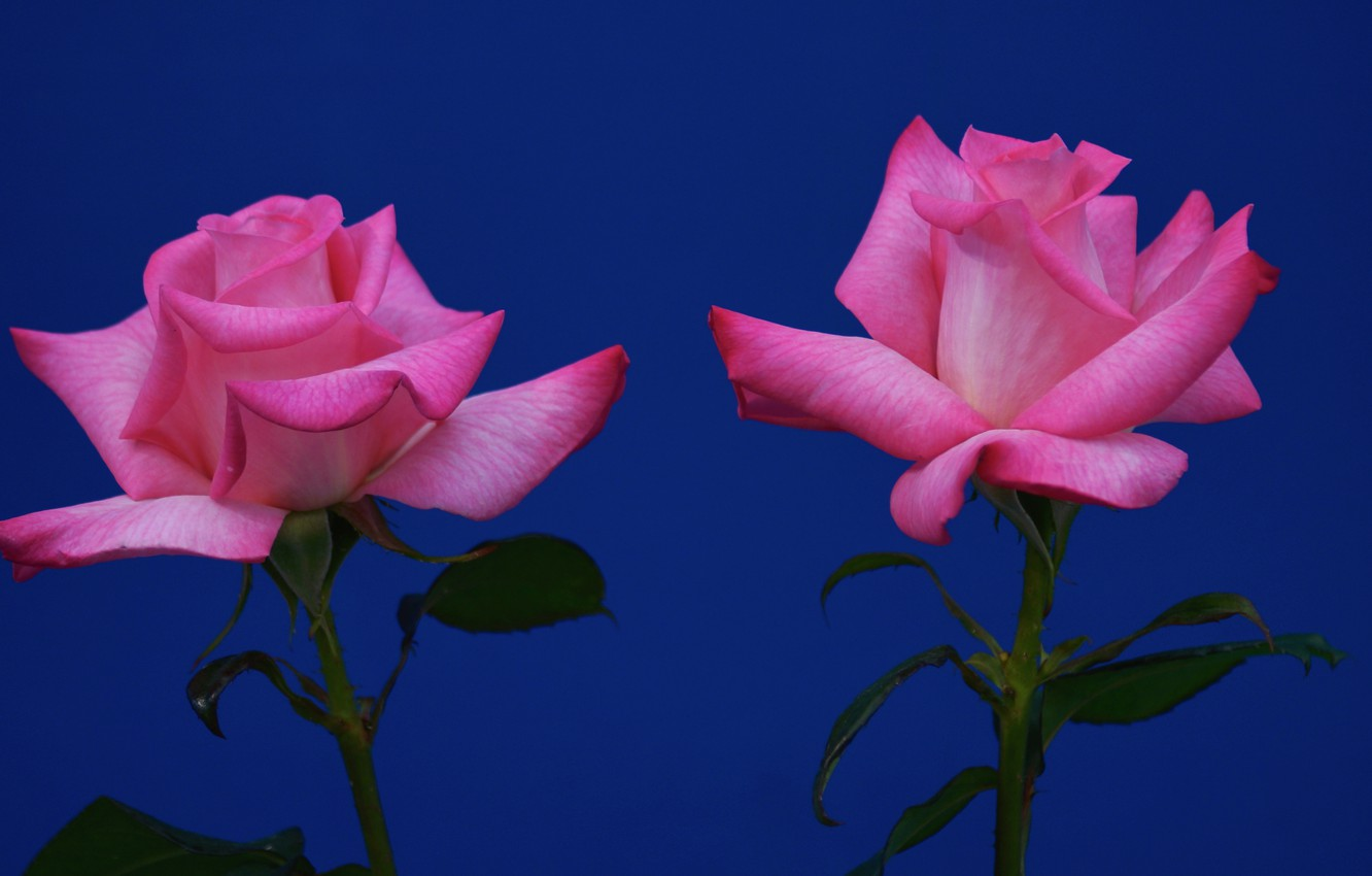 Photo wallpaper background, roses, Duo, two roses