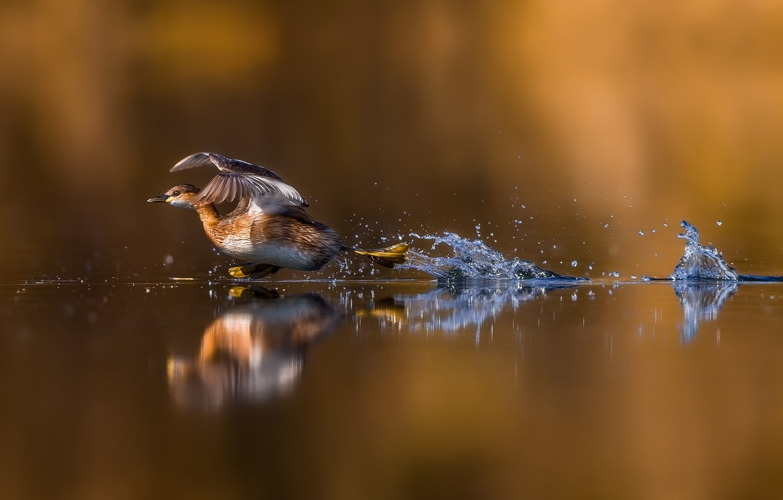 Photo wallpaper water, reflection, duck, run