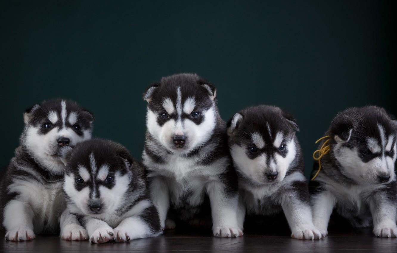 Photo wallpaper puppies, husky, quintet