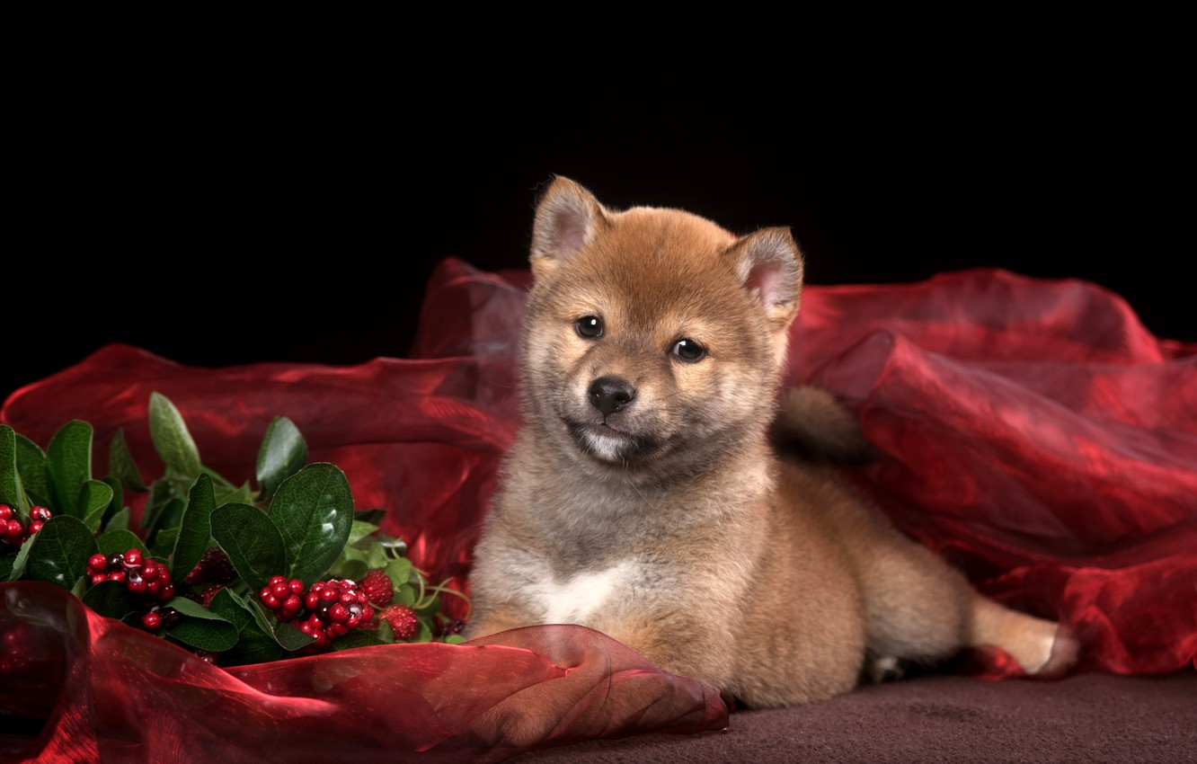 Wallpaper Leaves Berries Muzzle Puppy Fabric Lies Black Background Red Bokeh Shiba Inu Shiba Inu Shiba Inu Images For Desktop Section Sobaki Download