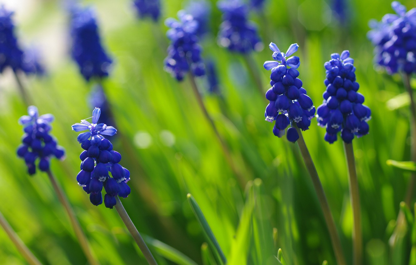 Photo wallpaper macro, flowers, nature, beauty, plants, spring, may, blue color, Muscari, cottage, flora, hyacinth mouse, bulbous