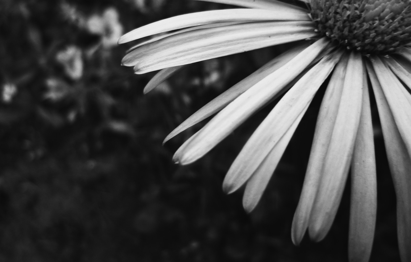 Wallpaper Flower Garden Daisy Belarus Black And White