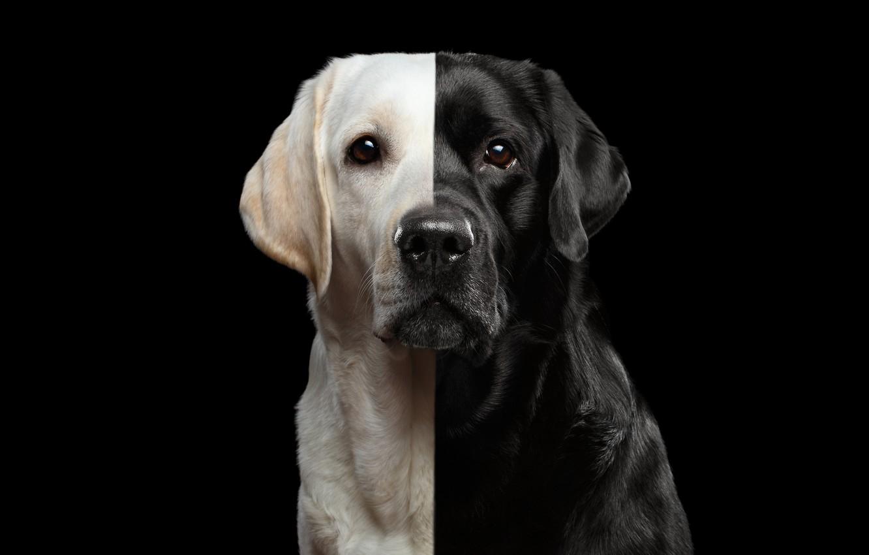 Photo wallpaper golden, black, labrador