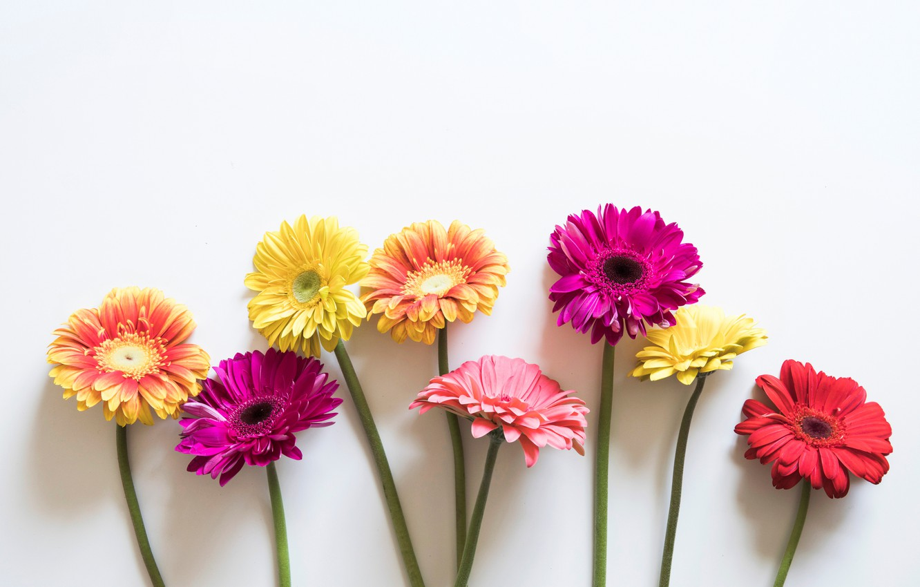 Photo wallpaper flowers, colorful, gerbera, pink, flowers, spring, gerbera