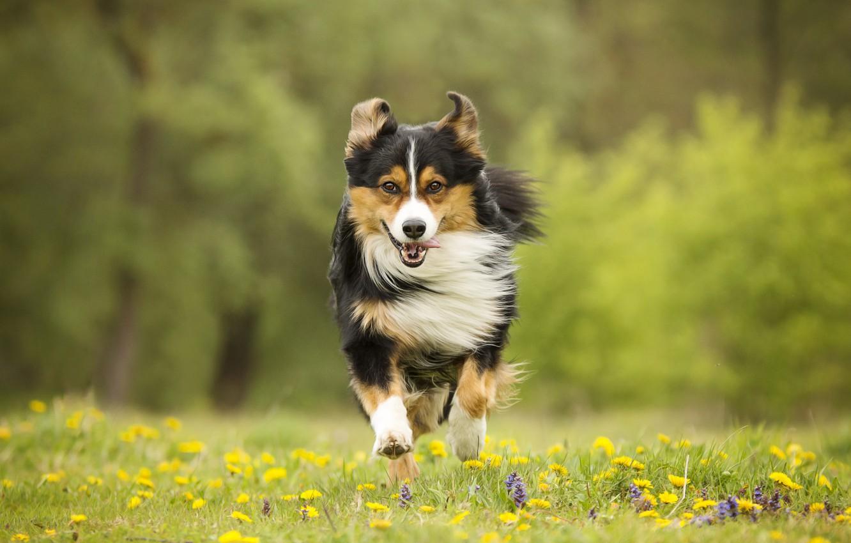 Photo wallpaper flowers, dog, meadow, running, walk
